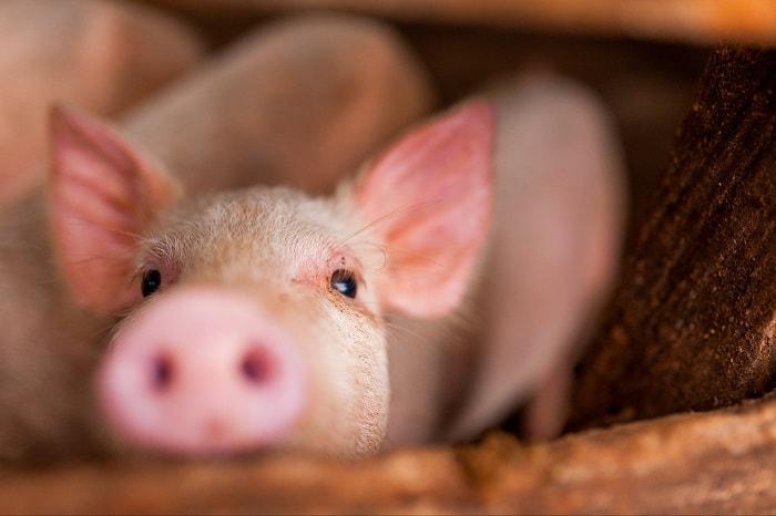Photo of Короста у свиней