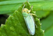 Коварство зеленой цикадки