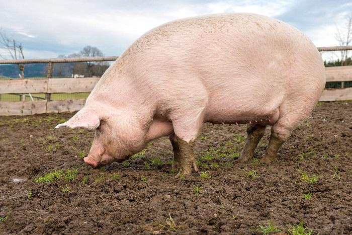 Photo of Крупная белая порода свиней