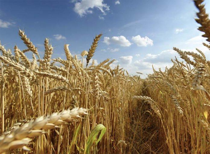 Кубанские аграрии готовятся к потере урожая