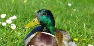 Лекарственные растения в птицеводстве