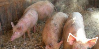 Лишай и вши у свиней