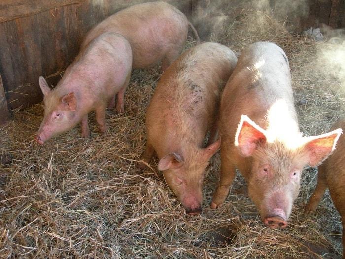 Photo of Лишай и вши у свиней