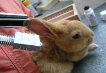 Мечение кроликов