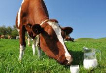 Молочная продуктивность коровы и способы ее определения