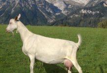 Молочная продуктивность коз