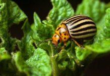 Можно ли справиться с колорадским жуком
