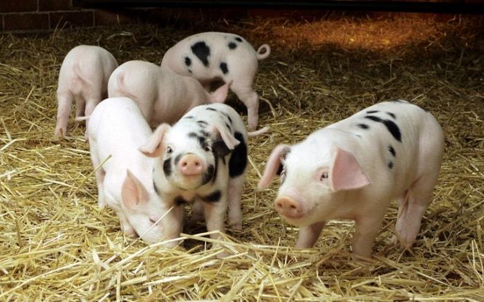 Photo of Опорос свиней
