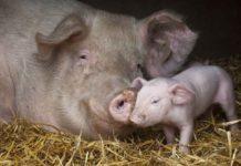 Опорос свиноматки