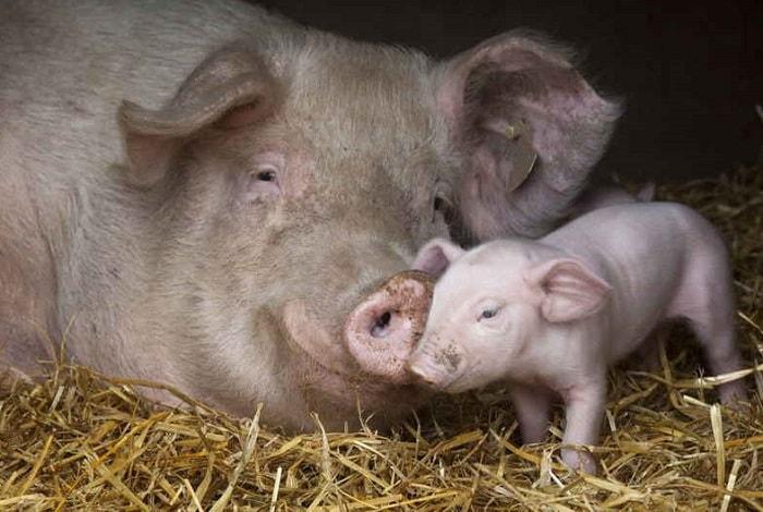 Photo of Опорос свиноматки