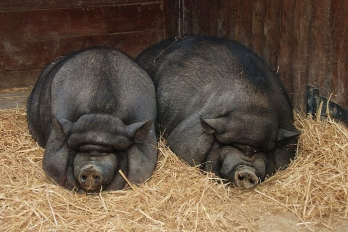 Опорос вьетнамской свиньи