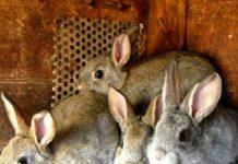 Определение пола у крольчат