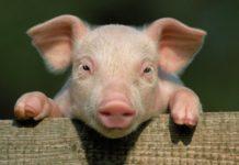 Организация успешного бизнеса по разведению свиней в домашних условиях
