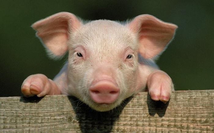 Photo of Организация успешного бизнеса по разведению свиней в домашних условиях