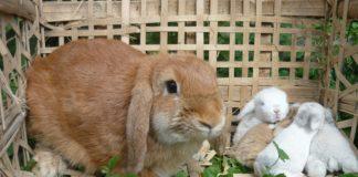Отличается ли молоко крольчихи от молока других сельскохозяйственных животных
