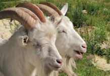 Первая станция осеменения мелкого рогатого скота будет создана в Удмуртии