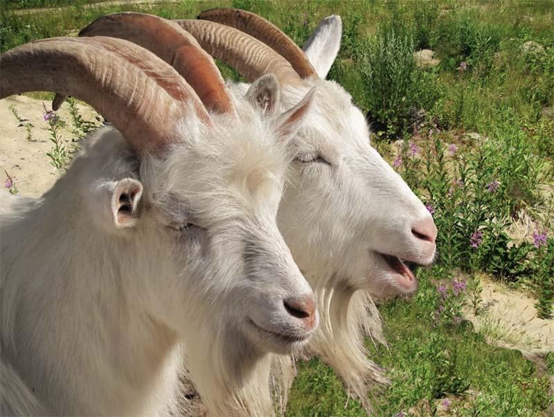 Photo of Первая станция осеменения мелкого рогатого скота будет создана в Удмуртии