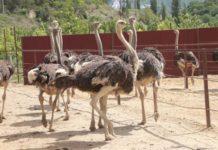 Первая страусиная ферма в Севастополе