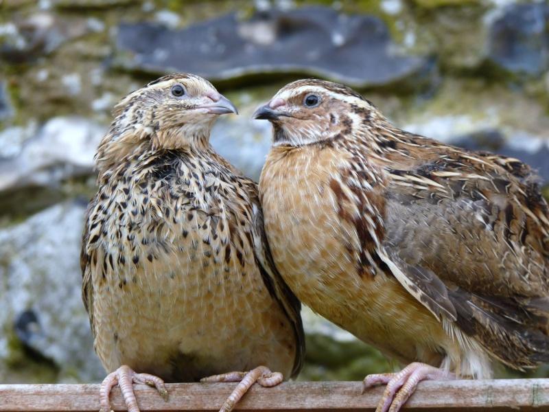 Племенная работа с птицей нетрадиционных видов