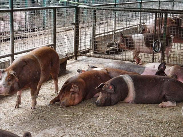 Photo of Племенные свиньи краснобелопоясой породы