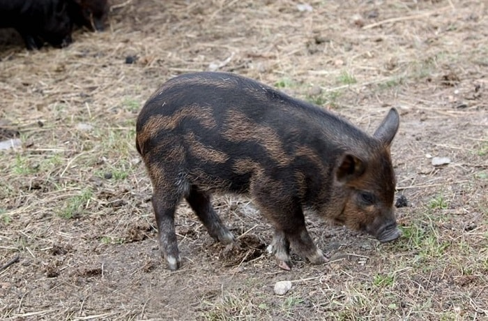 Photo of Порода свиней кармал