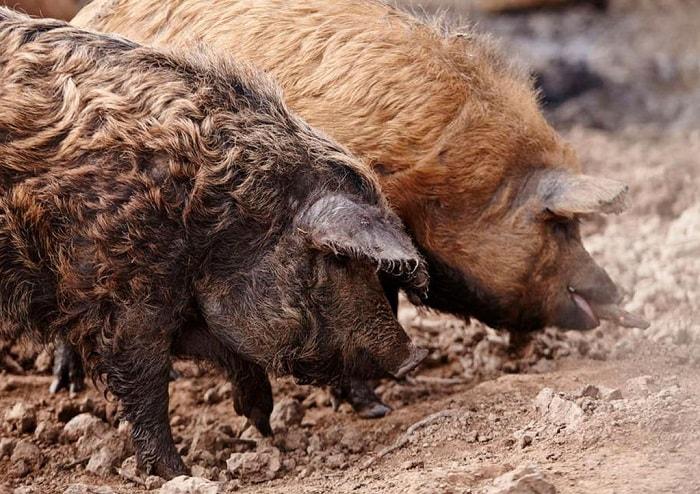 Photo of Порода свиней мангалица