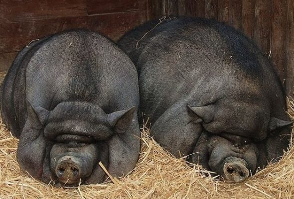 Породистые свиньи