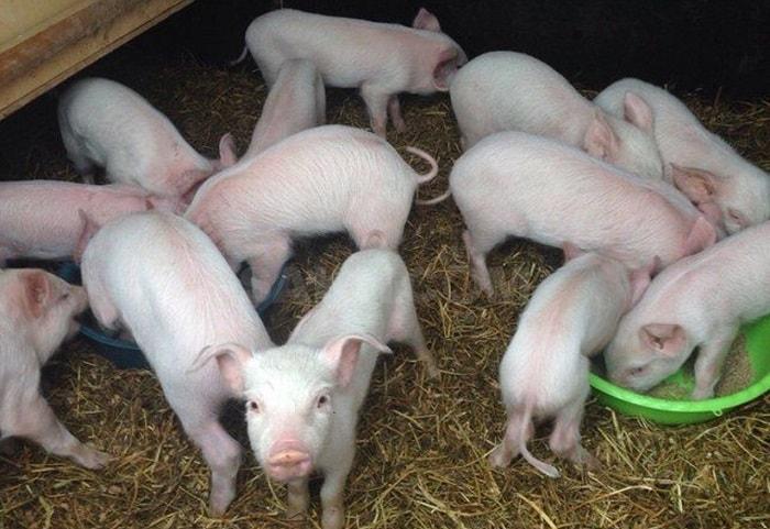 Photo of Породистые свиньи