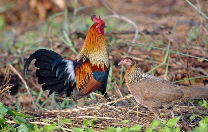 Происхождение домашних кур