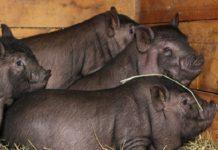 Разведение корейских свиней