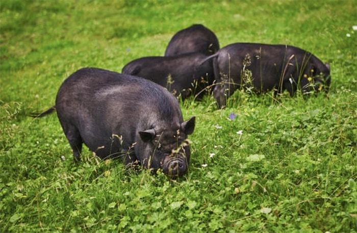 Photo of Разведение вьетнамских свиней