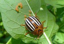 Рецепт приготовления отравы против колорадского жука в домашних условиях