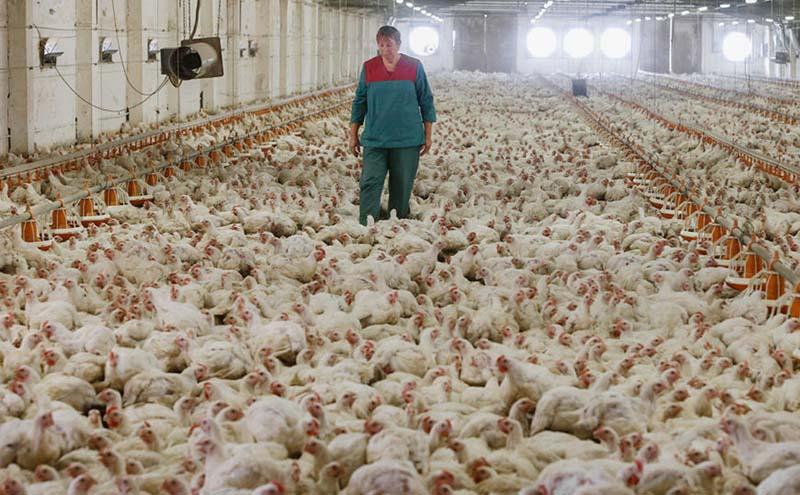 Россия будет снижать зависимость от иностранных пород мясных кур