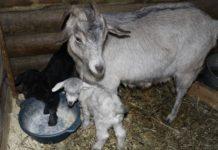 Рождение козленка и уход за ним