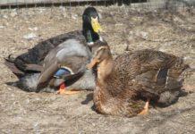Руанская утка