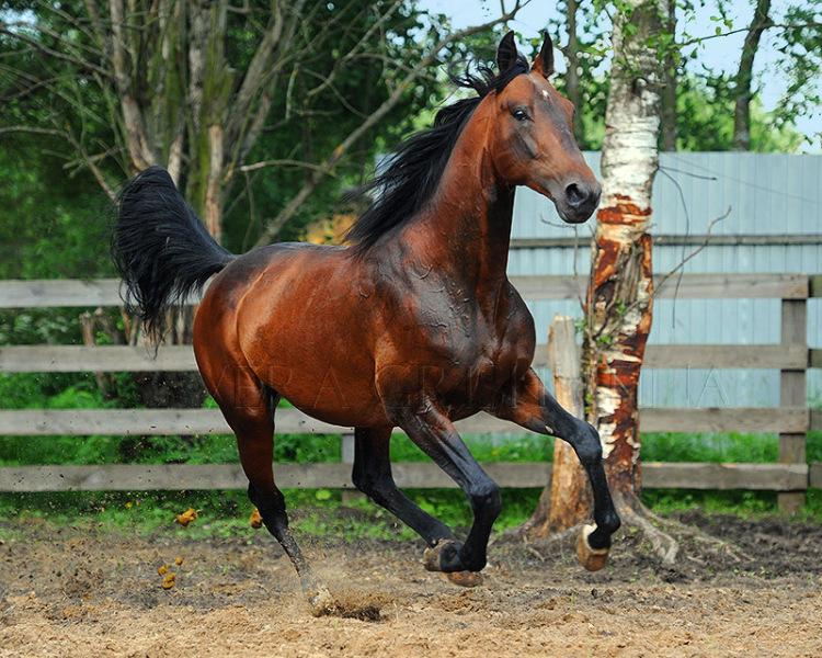 Русская рысистая лошадь