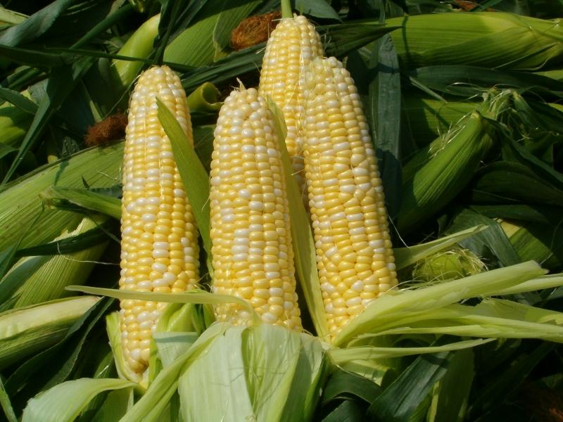 Сахарная кукуруза — ценная овощная культура