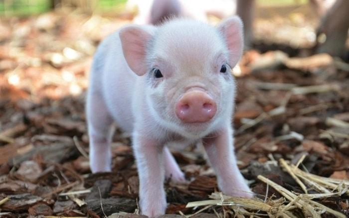 Photo of Сальные породы свиней