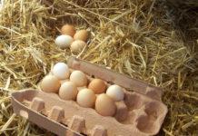 Сбор и хранение куриных яиц