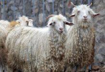 Шерстное козоводство