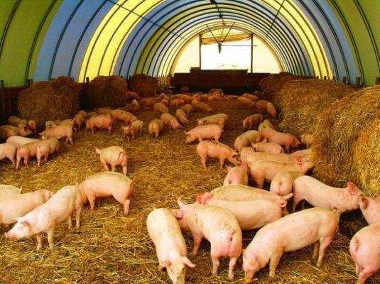 Системы и методы разведения свиней