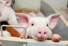 Скороспелая мясная порода свиней