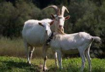 Случка коз и получение приплода