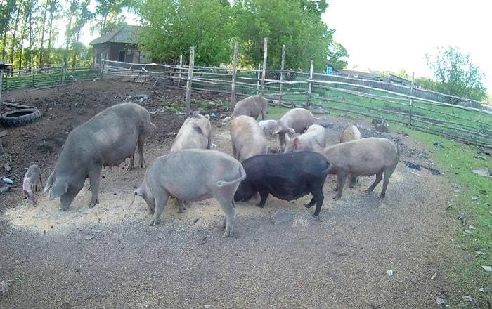 Photo of Содержание свиней