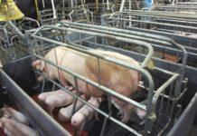 Станок для опороса свиноматки