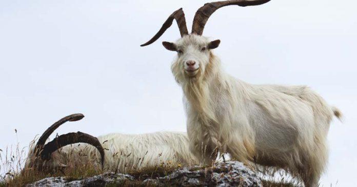 Стрижка коз