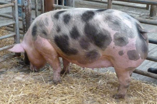 Свиньи породы пьетрен
