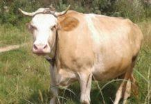 Сычевская порода коров