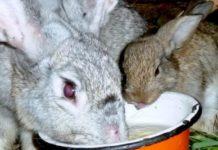 Техника кормления кроликов
