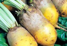 Технология выращивания кормовых корнеплодов
